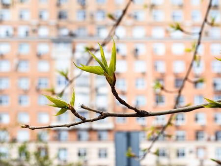 spring in city - young foliage of ash-tree close up and multi-storey apartment house on background (focus on green leaves on twig on foreground)