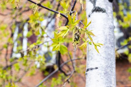 spring in city - blossoming of ash-tree close up and brown apartment house on background (focus on the bud on foreground)