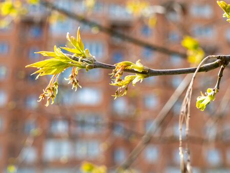 spring in city - blossoming twig of ash tree close up and multi-storey apartment house on background (focus on green leaves on foreground)
