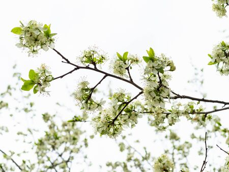 spring in city - bottom view of branch of cherry tree with white flowers under gray overcast sky on background in urban garden (focus on flowers on foreground) Stockfoto