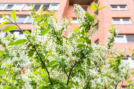 spring in city - white blossoms of bird cherry and multi-storey apartment building on background (focus on green leaves on foreground)