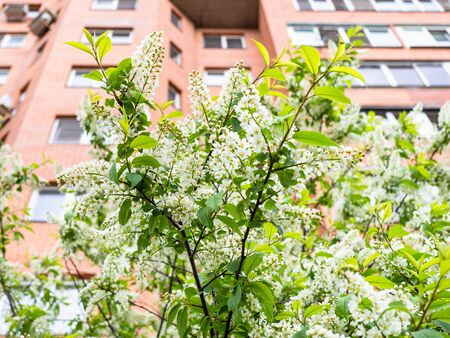 spring in city - blossoming bird cherry and high-rise apartment building on background (focus on Mayday tree on foreground) Stockfoto