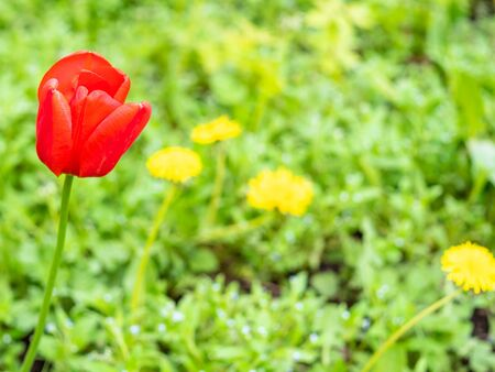 red poppy flower at green field with yellow dandelions on background on spring day (focus on poppy bloom on foreground) Stockfoto