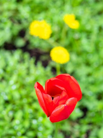 red poppy flower close up with blurred green lawn on background on spring day (focus on poppy bloom) Stockfoto