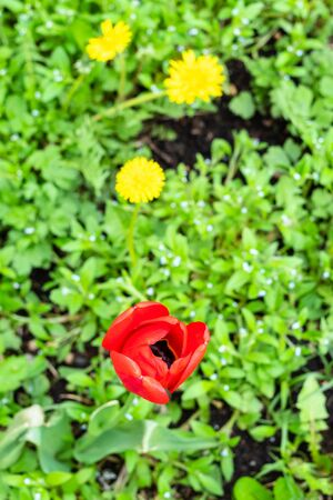 red poppy flower close up with green lawn on background on spring day (focus on poppy bloom) Stockfoto