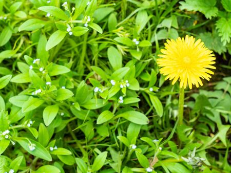 above view of yellow dandelion flower at green meadow close up on spring day (focus on taraxacum bloom)