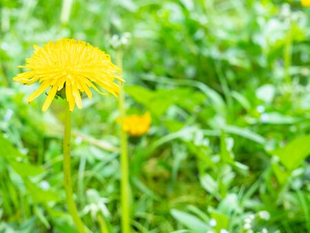 side view of yellow dandelion flower close up on green lawn on spring day (focus on taraxacum bloom on foreground) Stockfoto