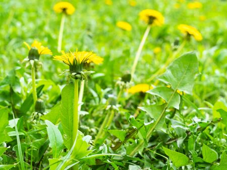 side view of yellow dandelions close up at green field on spring day (focus on taraxacum bloom on foreground)