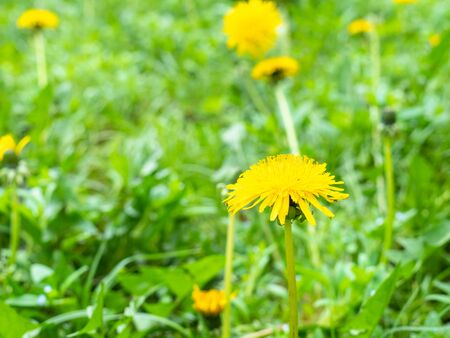side view of yellow dandelions close up at green meadow on spring day (focus on taraxacum bloom on foreground) Stockfoto