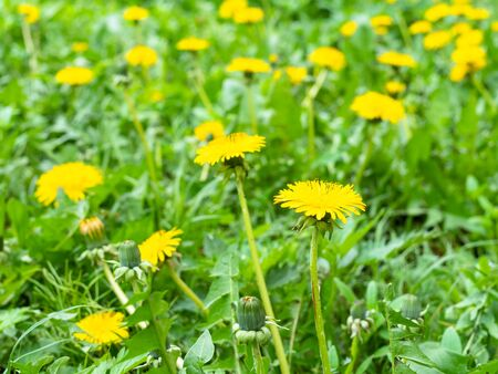 green meadow with yellow dandelions on spring day (focus on taraxacum bloom on foreground)