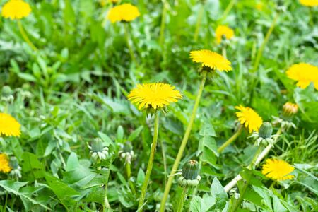 green lawn with yellow dandelions on spring day (focus on taraxacum bloom on foreground)
