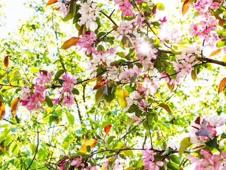spring in city - branches of apple tree with pink blooms in urban garden