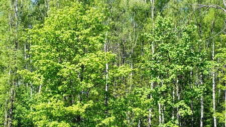 natural summer panoramic background - green trees in dense forest on sunny day Stock Photo