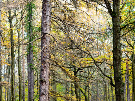 colorful larch and pine trees in forest of city park on autumn day
