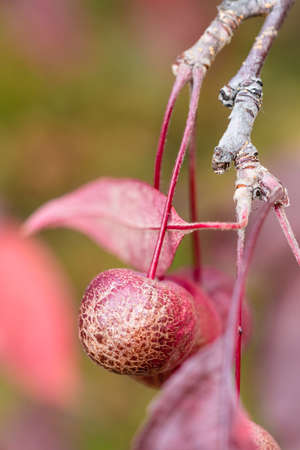 little ripe red fruit of crab apple tree with dried peel close up on autumn day (focus on the apple on foreground)