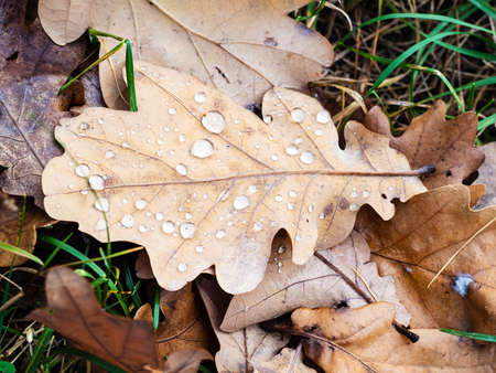 top view of brown oak leaf with raindrops on lawn after rain on autumn day Archivio Fotografico