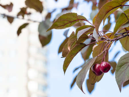 twigs of crab apple tree with ripe fruits and blurred facade of high-rise apartment building on background on autumn day (focus on apples on foreground)
