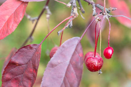 little ripe red fruit of crab apple tree and purple leaves in city park on autumn day (focus on the apple on foreground) Archivio Fotografico