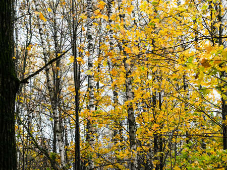 colorful maple leaves and birch trees on background in forest on rainy autumn day