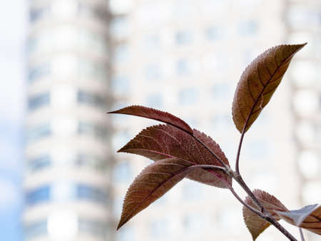 purple leaves of crab apple tree and blurred facade of high-rise apartment building on background on autumn day (focus on leaf on foreground)