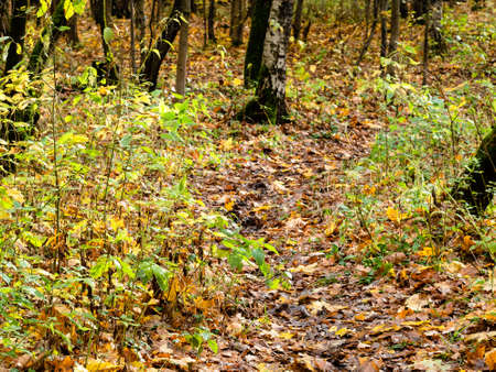 pathway covered by wet fallen leaves in forest on rainy autumn day (focus on foreground) Archivio Fotografico