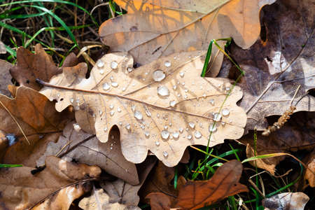 top view of dried oak leaf with rain drops lit by sun closeup on lawn after rain on sunny autumn day Archivio Fotografico
