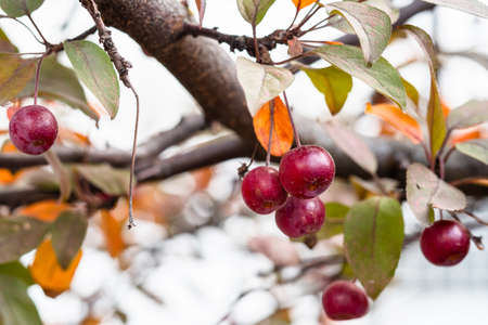 bunch of little ripe fruits of crab apple tree on branch in city garden on autumn day (focus on the apple on foreground)