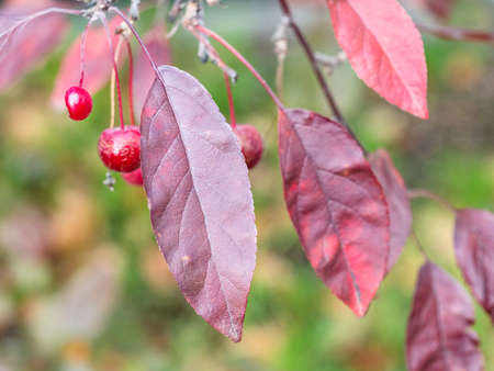 red leaves of crab apple tree closeup in city park on autumn day (focus on leaf on foreground)