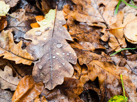 fallen oak leaf with raindrops close up at meadow in forest on rainy autumn day (focus on foreground of upper leaf)