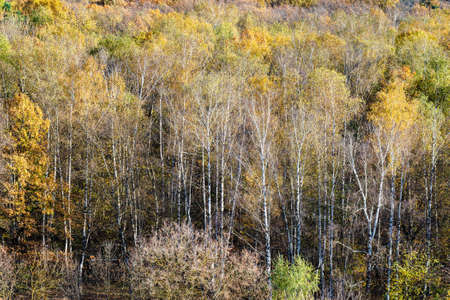 above view of birch grove at edge of colorful forest on sunny autumn day Archivio Fotografico