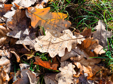 top view of fallen oak leaf with rain drops lit by sun on lawn after rain on sunny autumn day Archivio Fotografico