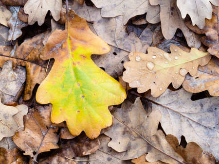 top view of wet colorful fallen oak leaf close up at meadow in forest on rainy autumn day