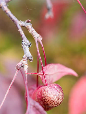 little ripe red fruit of crab apple tree with cracked peel close up on autumn day (focus on the apple on foreground) Archivio Fotografico