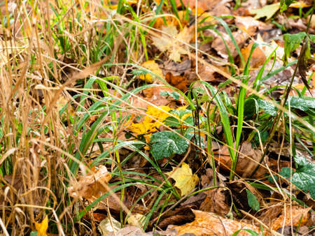 wet green grass covered by fallen leaves on surface of meadow in forest on rainy autumn day Archivio Fotografico