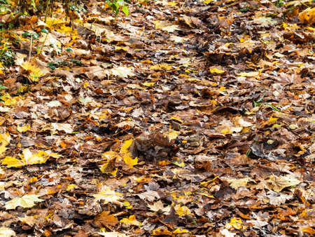 surface of footpath covered by wet fallen leaves in forest on rainy autumn day Archivio Fotografico