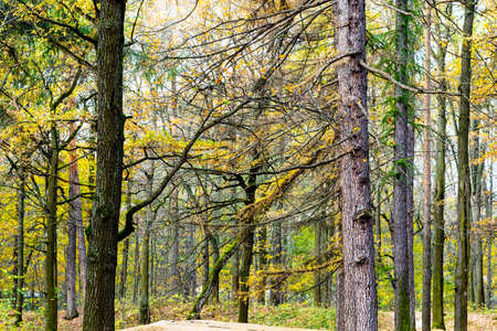 larch and pine grove in city park on autumn day