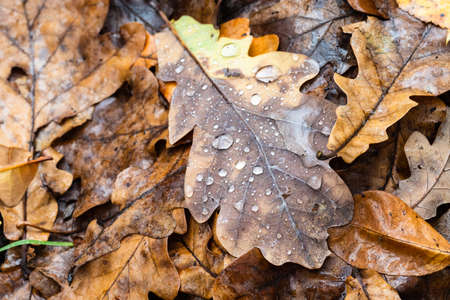 fallen leaf of oak tree with raindrops close up at meadow in forest on rainy autumn day (focus on foreground of upper leaf)