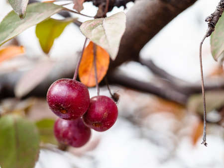 bunch of little ripe fruits of crab apple tree closeup on branch in city garden on autumn day (focus on the apple on foreground)