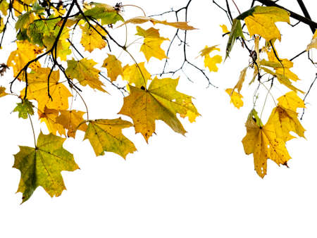 natural branch of maple tree with wet yellow and green leaves cut out on white background