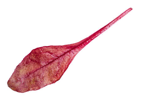 single fresh leaf of red Chard leafy vegetable cut out on white background