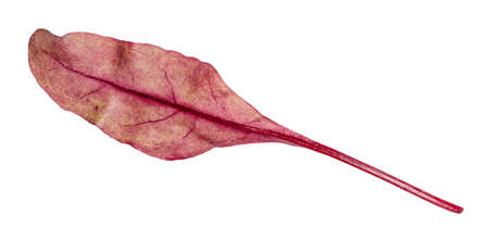 fresh leaf of red Chard leafy vegetable cut out on white background 스톡 콘텐츠