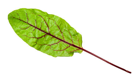single fresh leaf of Chard leafy vegetable cut out on white background