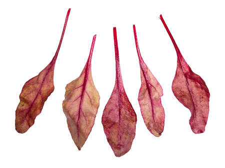 several fresh leaves of red Chard leafy vegetable cut out on white background