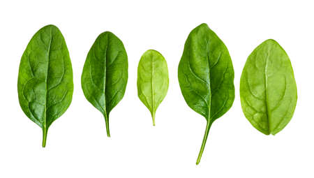 several fresh leaves of Spinach leafy vegetable cut out on white background