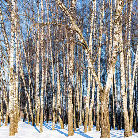 sunlit birch grove in snow-covered city park on sunny winter day