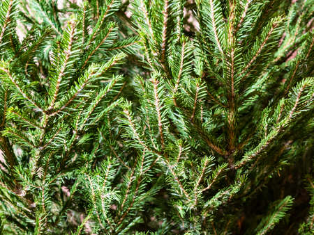 natural background - green branches of fresh spruce tree closeup indoor Stock fotó