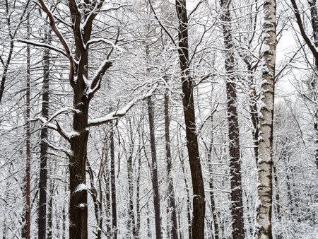 bare oak and birch trunks in snowy city park on overcast winter day Stock fotó