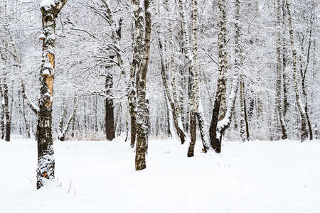 snow-covered birch and oak trees in snowy city park on overcast winter day Stock fotó