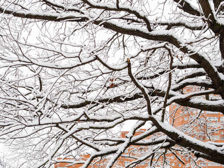 snow-covered dark oak limbs and high-rise apartment house on background on overcast winter day Stock fotó