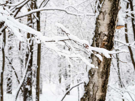 snow-covered tree branch and old birch in snowy city park on background on overcast winter day (focus on the twigs in background)